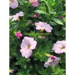 Petunia Supercal Blushing rose