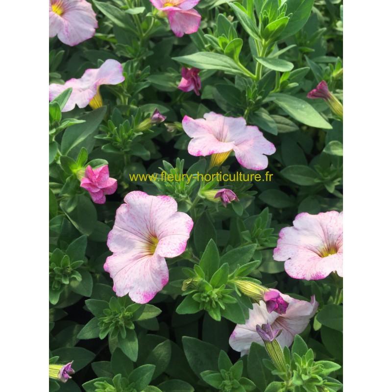 petunia retombant supercal blushing rose. Black Bedroom Furniture Sets. Home Design Ideas
