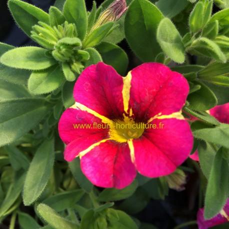 Calibrachoa Superbells Cherry Star