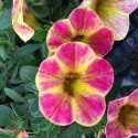 Calibrachoa Cameleon Sunshine Berry