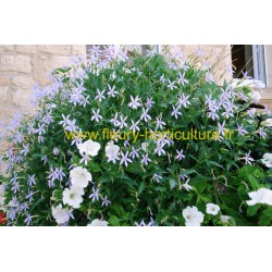 Isotoma Laurentia Axillaris Starshine bleu