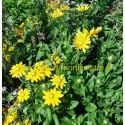 Rudbeckia Hirta Prairie Sun