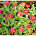 Zinnia Profusion rose
