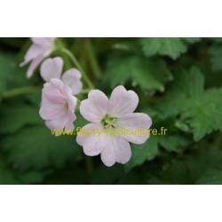 Geranium Vivace Dreamland rose clair