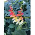 Mina Lobata  jaune & rouge