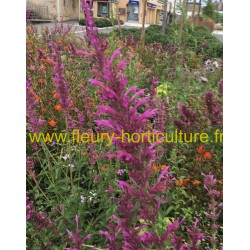 Agastache Cana Heather Queen
