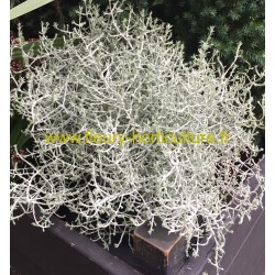 Calocephalus Brownii Silver Bush