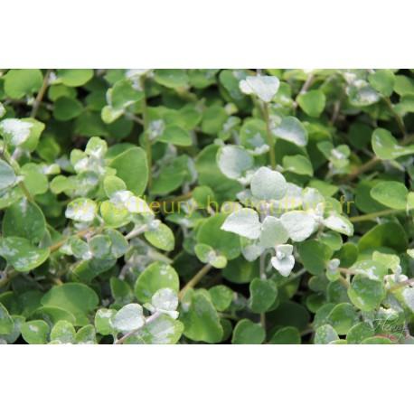 Helichrysum argent