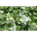 Helichrysum Petiolare argent