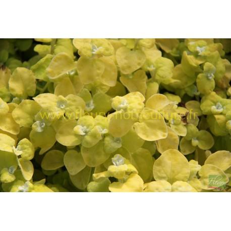 Helichrysum doré