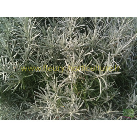 Helichrysum Tall Curry