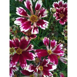 Coreopsis Jewel Ruby Frost