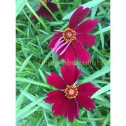 Coreopsis Limerock Ruby Velour