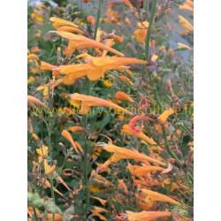 Agastache Aurantiaca Orangeade