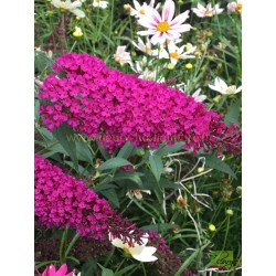 Buddleia Buzz violet