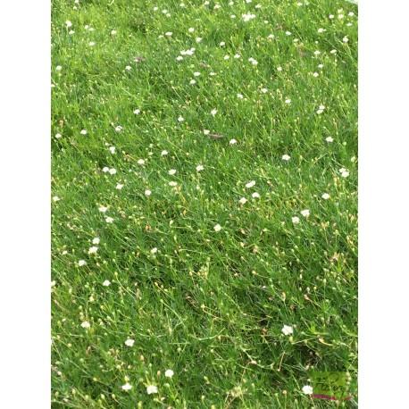 Sagina Subutala Irish Moss