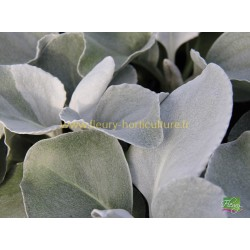 Senecio Candidans Angel Wings