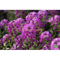 Lobularia Princess in Purple