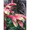 Beloperone Guttata ou plante aux crevettes