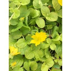 Lysimachia Numularia Aurea Goldilocks