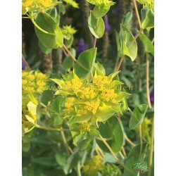 Bupleurum Rotundifolium Griffiti