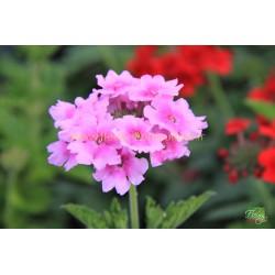 Verveine Endurascape pink bicolore