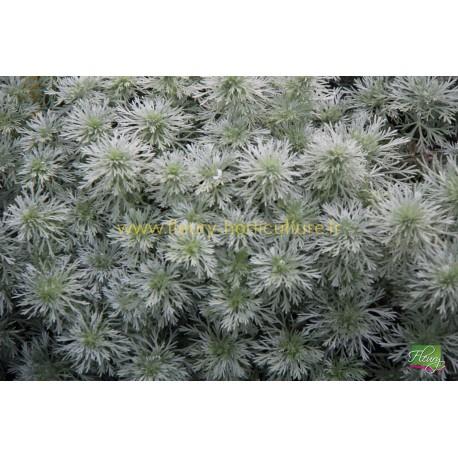 Artemisia Schmidtiana Nana Attraction