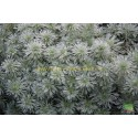 Armoise Artemisia Schmidtiana Nana Attraction
