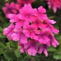 Verveine Endurascape hot pink