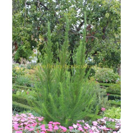 Eupatorium Capillifolium Elegant Feather