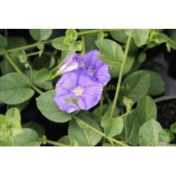 Convolvulus Blue Cascade