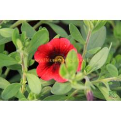 Calibrachoa Pomegranate Punch