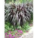 Pennisetum Purpureum Vertigo