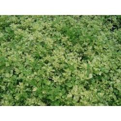 Artemisia Oriental Lime