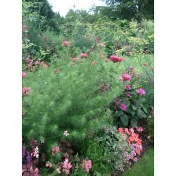 Artemisia Capillaris