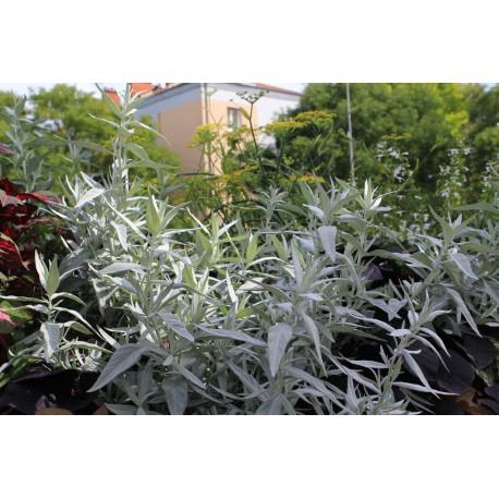 Artemisia Valeris Finis