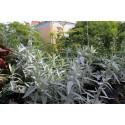 Armoise Artemisia Valeris Finis